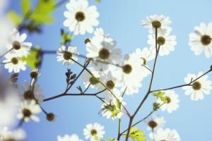 1290197_white_flowers_against_blue_sky[2]